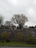 s-20120502-sakura1.jpg