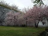 s-20120502-sakura2.jpg