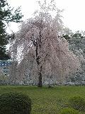 s-20120502-sakura3.jpg